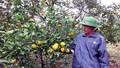 """""""Đại gia chân đất""""  kiếm bạc tỷ nhờ trồng cam"""