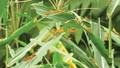 Châu chấu tre lưng vàng phá hoại 277 ha cây trồng trước khi bay trở về Trung Quốc