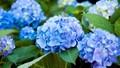 6 loại hoa cực đẹp nhưng cũng cực độc trong dịp Tết