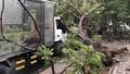 Thêm một cây phượng bật gốc cạnh trường ở TP HCM