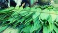 Lá rụng bờ rào bỏ đi ở Việt Nam, sang nước ngoài bán đắt đỏ