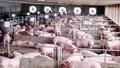 Hải Dương tập trung phòng, chống Dịch tả lợn Châu Phi