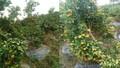 Cận Tết Kỷ Hợi, chủ vườn khóc ròng vì vườn quất bị phá hoại