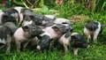 Quảng Ninh đưa lợn quý ra đảo để tránh dịch