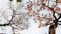 Chẳng phải đi đâu xa, Hà Nội đang đẹp nao lòng mùa cây thay lá