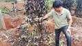 """Đắk Nông: Côn đồ """"áp bức"""" nông dân, phá hoại vườn cây, đòi bảo kê nông sản"""