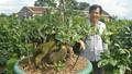 'Nghệ sỹ' mai bonsai nổi tiếng miền Trung