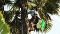 Nhọc nhằn nghề trèo cây thốt nốt