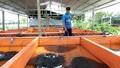 """Trại ươm giống thành công nhờ """"bí kíp"""" nuôi lươn không cần bùn"""