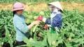Lâm Đồng đẩy mạnh chuyển đổi cây trồng