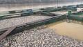 Hàng chục tấn cá nuôi lồng chết trắng vì lũ