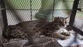 Thừa Thiên Huế: Tiếp nhận và tái thả cá thể mèo rừng quý hiếm về thiên nhiên