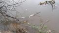 Cá chết hàng loạt trên sông chợ Hôm, người dân nghi do khu công nghiệp xả thải