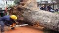 Cận cảnh hàng loạt cây xanh bị đốn hạ ở Hà Nội