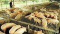 Sử dụng chất cấm trong chăn nuôi, có thể bị phạt đến 100 triệu đồng