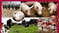 Thi hành án, xử lý thế nào đối với tài sản là vật nuôi, tài sản tươi sống, mau hỏng