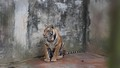 """Nghịch lý trùm buôn lậu động vật hoang dã nuôi hổ """"bảo tồn"""""""