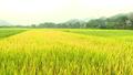 Chuyển đổi mục đích sử dụng đất trồng lúa có bị hạn chế không?
