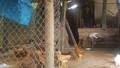 Thanh Ba, Phú Thọ: Gần 50% gà giống dự án chương trình 135 bị chết