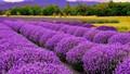 Lãng mạn cùng những cánh đồng hoa đẹp nhất