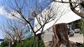 Tp Hồ Chí Minh: Nghi án đầu độc cây xanh thành phố