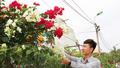 Làng hoa, cây cảnh ở Quảng Ninh rộn ràng vào vụ Tết