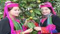 185 cây Trà hoa vàng đẹp nhất sẽ khoe sắc trong Lễ hội trà hoa vàng Ba Chẽ