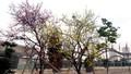 Cây hoa ghép đạt kỷ lục Guiness Việt Nam và châu Á