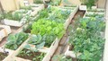 """Cư dân """"cao ốc""""  tận dụng... gầm giường để trồng rau sạch"""