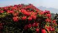 Ngắm hoa đỗ quyên trên đường chinh phục Fansipan