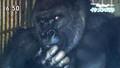 Khỉ đột... đẹp trai hút hồn các cô gái trẻ