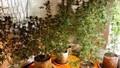 Mua giống cần sa trên mạng mang về trồng 50 cây trong nhà