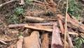 Tận mắt chứng kiến hiện trường lâm tặc tàn sát rừng gỗ quý Trường Sơn