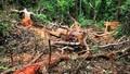 """Rừng gỗ quý Trường Sơn bị """"tàn sát"""": Chủ rừng tiếp tay để nạn lâm tặc lộng hành?"""