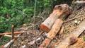 """Rừng gỗ quý Trường Sơn bị """"tàn sát"""": UBND tỉnh Quảng Bình lập đoàn kiểm tra liên ngành và sẽ xử lý nghiêm"""
