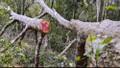 Vụ xâm hại rừng đặc dụng Mường Phăng: Có thể tăng cường kiểm lâm viên