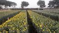 Tây Tựu: Phá bỏ ruộng Cúc, nông dân khóc ròng
