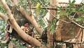Nhóm người Ấn Độ tự cách ly... trên cây để tránh lây dịch COVID - 19