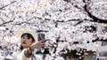 Nhật Bản ghi nhận hoa anh đào nở sớm nhất trong 1.200 năm