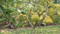 Ngắm quả tiền triệu trổ sắc vàng rực một vùng quê Hà Nội