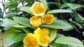 Quảng Ninh: Làm giàu từ việc thuần hoá hoa của rừng