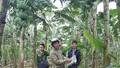 Phú Thọ: Hàng nghìn buồng chuối sắp thu hoạch bị kẻ gian triệt hạ