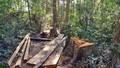 Lâm Đồng: Phát hiện hàng chục cây cổ thụ trăm tuổi bị đốn hạ trái phép