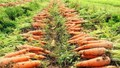 """""""Thủ phủ"""" cà rốt Cẩm Giàng còn hơn 20.000 tấn đang đến kỳ thu hoạch"""