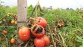 Xót xa nhìn cà chua rụng đỏ, bắp cải nứt toác trên ruộng ở Cẩm Giàng