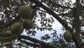 Trái cây mùa hè của Bà Rịa – Vũng Tàu giảm năng suất lẫn giá thành
