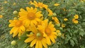 Chiêm ngưỡng sắc hoa Dã Quỳ phủ vàng cao nguyên Lâm Viên