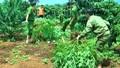 Phát hiện, thu giữ một số lượng lớn cây cần sa trong rẫy cà phê ở Đắk Nông