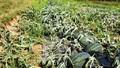 Gần 3 sào dưa hấu chuẩn bị thu hoạch bị phá hoại