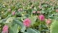 Thơm ngát mùa sen xứ Huế